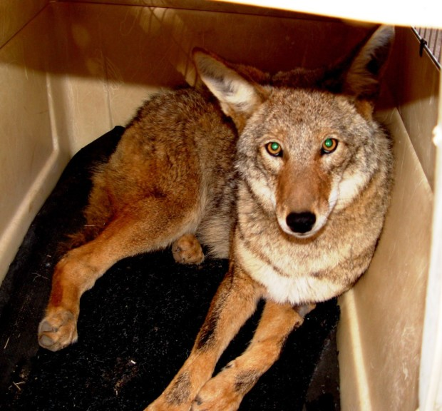 Coyote in Kennel 1
